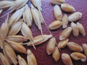 Μονόκοκκο σιτάρι - Triticum monococcum