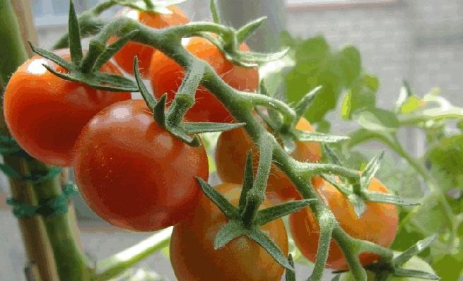 Καλιέργεια βιολογικής ντομάτας σε γλάστρα
