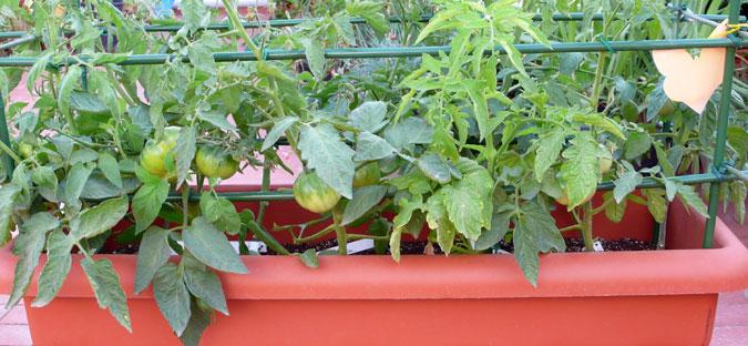 καλλιέργεια βιολογικής ντομάτας σε γλάστρα